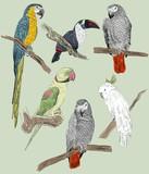 parrots - 77894895