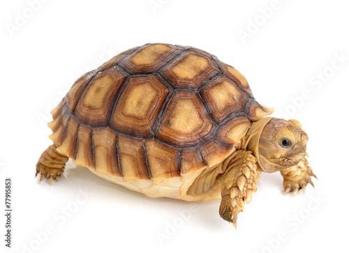 Cadres-photo bureau Tortue turtle on white background