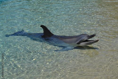 Plakat  Bottlenose Dolphin