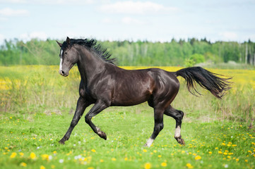 Beautiful black horse running on the pasture in summer