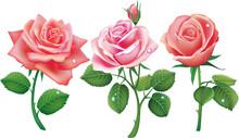 Set Of Three Pink Roses