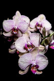 Fototapeta Orchid - orchid
