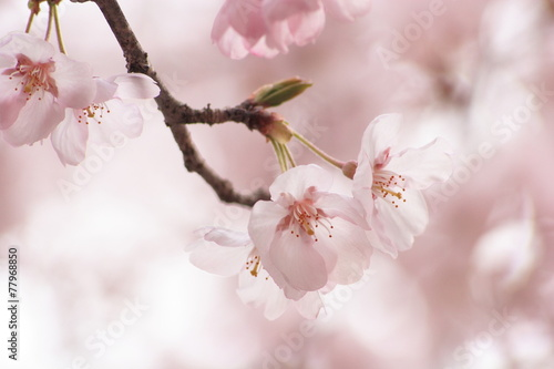 Papiers peints Cerises 桜の花