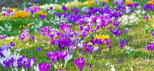 Panel Szklany Krokusse und Schneeglöckchen im Frühjahr