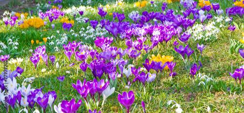 Keuken foto achterwand Krokussen Krokusse und Schneeglöckchen im Frühjahr