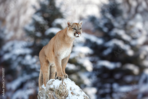 In de dag Puma Portrait of a cougar, mountain lion, puma, panther, pose of the hunter