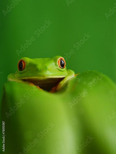 Foto op Aluminium Kikker Red eyed tree frog