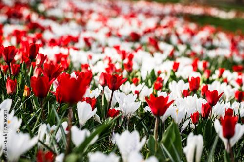 Fotografie, Obraz  Rot Weiss - Tulpen und Krokusse