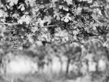 Black and White image of ripe grape in leaves - 78073017
