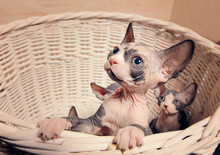 Little Sphynx Cats Inside A Wo...