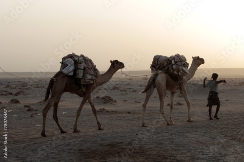 Fotografija  Caravan of camels with salt in Danakil depression desert