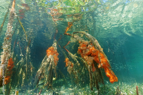 Mangrove roots underwater with red boring sponges