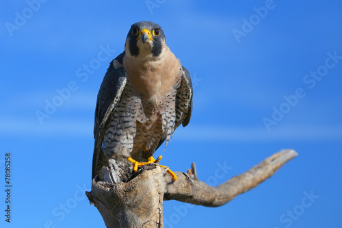 Photo  Peregrine falcon sitting on a stick