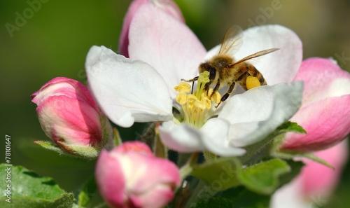 Staande foto Bee Biene in Apfelblüte