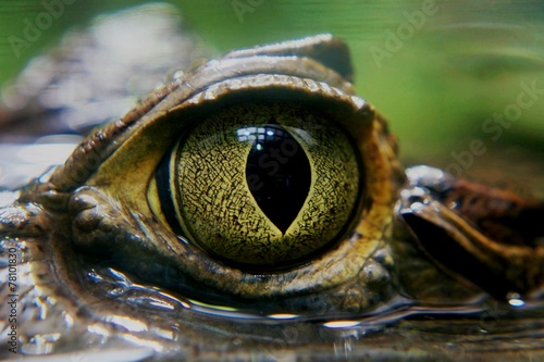 Photo Stands Crocodile Kaiman Auge