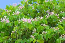 Bauhinia, Arbre à Orchidées