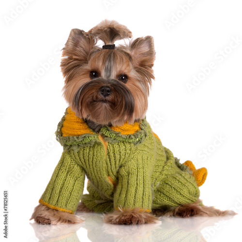 adorable yorkie in a knitted sweater