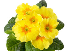 Yellow Primrose Isolated On Wh...