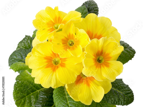 yellow primrose isolated on white background Wallpaper Mural