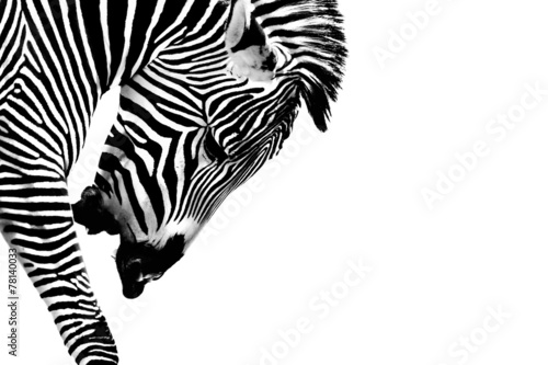 Cadres-photo bureau Zebra Striped Zebra Stallion Isolated on White