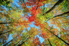Colorful Leaves Up In The Autumn Trees