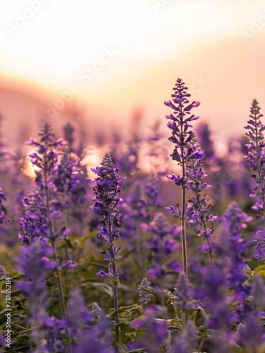 Fototapety, obrazy: Violet lavender field background on sunset.