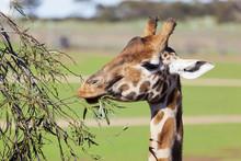 Giraffe Reaching High To Eat Leaves