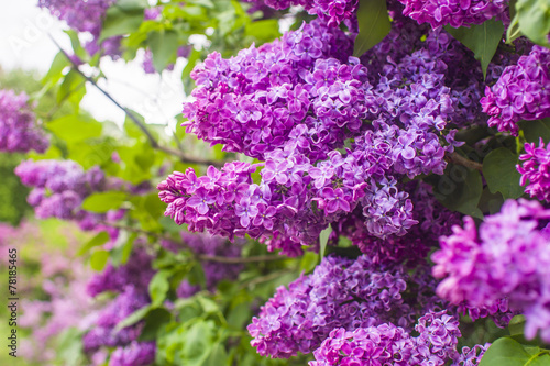Photo sur Toile Lilac Blooming lilac