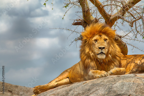 Fotobehang Leeuw Male lion sitting on a rock facing straight