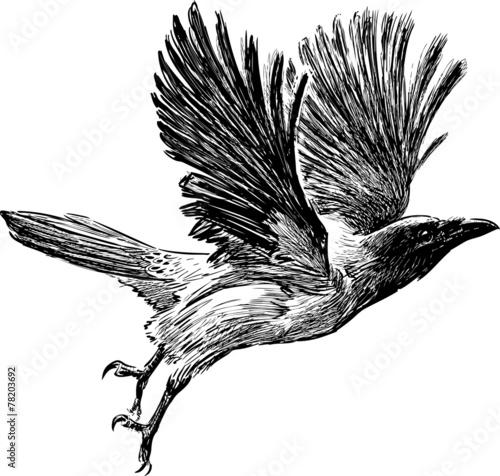 crow in flight Fototapeta