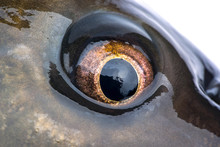 Eye Carp