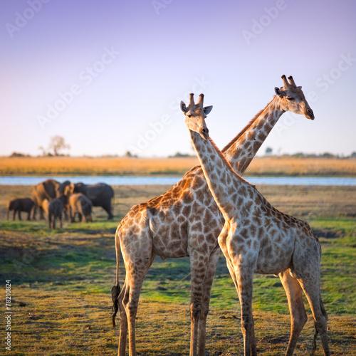 Crossed giraffes on African Savannah Canvas Print