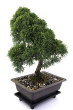 Green Bonsai Tree Of Juniper O...
