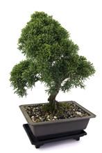 Juniperus  Bonsai  On White Ba...