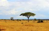 Fototapeta Sawanna - Savanna landscape