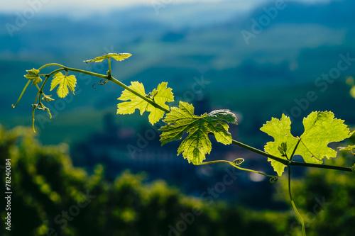 Fotografia  Ramo e foglie di vite