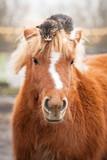Little kitten sitting on the head of shetland pony