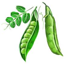 Peas Vector Illustration  Hand...