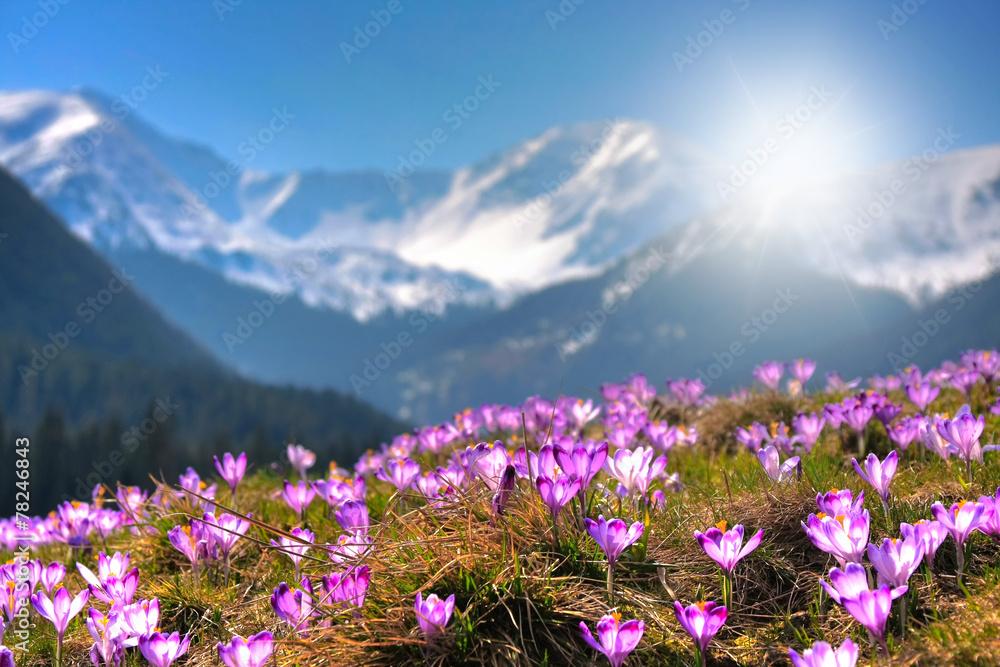 Obraz Mountain flowers on the background of the high peaks fototapeta, plakat