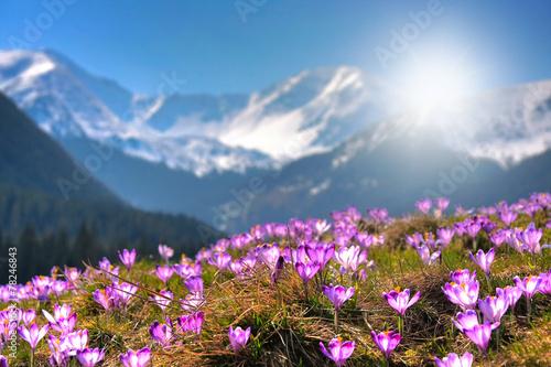 Fototapeta Mountain flowers on the background of the high peaks obraz