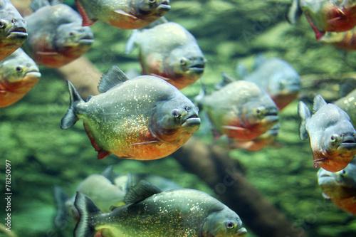 flock of piranhas swim nature wildlife Canvas-taulu