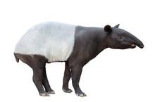 Malayan Tapir Or Asian Tapir I...