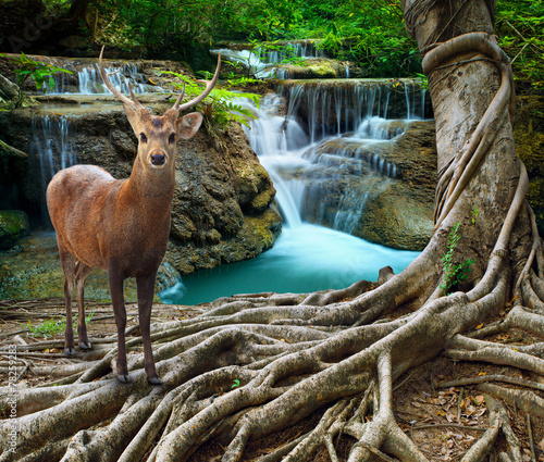Photo sur Toile Cascade sambar deer standing beside bayan tree root in front of lime sto