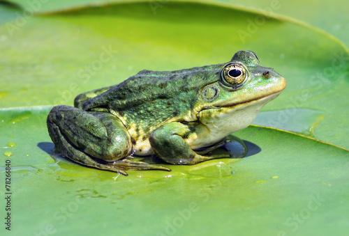 Tuinposter Kikker Marsh frog on the lake