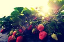 Strawberry Plants Grow In Gar...
