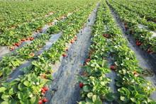 Strawberry Plants Grow In Garden