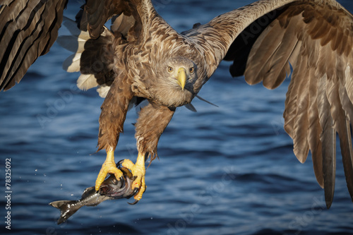 Poster Aigle White-tailed eagle with freshly caught fish