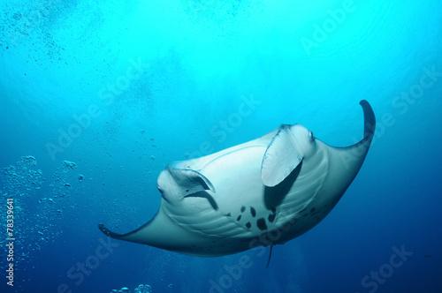 Floating manta ray Fototapeta