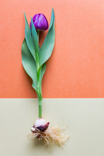 A Single Magenta  Tulip Whole With Bulb And Roots. Bicolor Textu