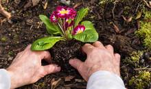 Man Planting Primroses In The Garden